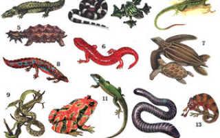 Ящерицы: разновидности рептилий, как они выглядят и какими бывают в общении с людьми