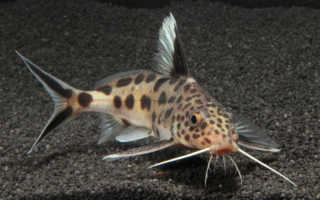 Сом кукушка: описание видовых особенностей, содержание, уход и совместимость синодонтиса с другими рыбками