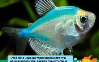 Тернеция: содержание аквариумной рыбки и уход за ней, её совместимость с другими рыбами