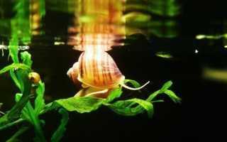 Аквариумные улитки: разновидности, польза и вред для аквариума