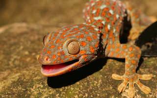 Разновидности ящерицы геккон: среда обитания, размеры, рацион питания и размножение животного