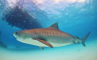 Тигровая акула: описание веса и длины, самый больший размер этого животного, который был зафиксирован