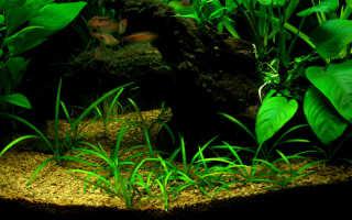 Сагиттария: характеристика видов аквариумного растения (карликовое, жестколистное, широколистное и шиловидное)