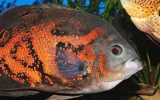 Американская цихлида: аквариумное содержание и разновидности