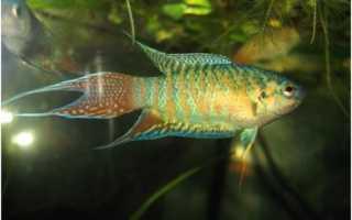 Лабиринтовые рыбки: названия и виды, особенности поведения рыб, правила ухода за анабасами