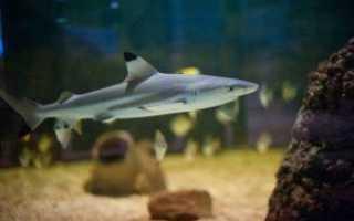 Аквариумная домашняя акула: виды, особенности содержания и покупки декоративных рыбок
