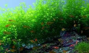 Микрантемум тенистый (Micranthemum umbrosum): описание и характеристики, особенности содержания в аквариуме