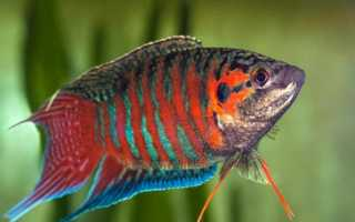 Аквариумный макропод: обитание в природе, где и сколько живёт рыбка, содержание и уход