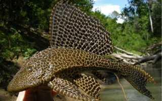 Птеригоплихт парчовый: описание, особенности содержания и ухода за рыбой, как отличить самца от самки