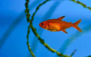 Тетра аманда (hyphessobrycon amandae): описание и обитание в природе, содержание в аквариуме, разведение