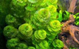 Содержание кабомбы в аквариуме: описание зеленого растения, создание условий для его высадки, уход и виды
