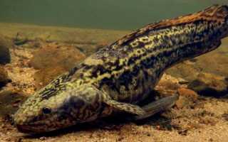 Рыба налим: описание внешнего вида, возможные размеры и местообитание