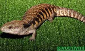Сцинк: виды ящериц, кормление и разведение в домашних условиях