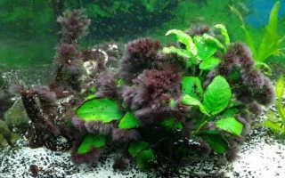 Как бороться с вьетнамкой в аквариуме: причины появления водоросли и методы избавления от нее