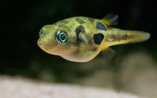 Желтый карликовый тетрадон: требования к содержанию, правила ухода и совместимость с другими рыбами