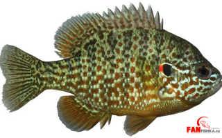 Калифорнийский солнечный окунь: описание вида, содержание радужной рыбы в аквариуме, можно ли есть