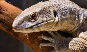 Капский варан: описание вида, ареал и особенности содержания в домашних условиях
