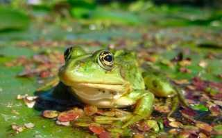 Жерлянка: общие сведения о лягушке, содержание жабы в домашних условиях