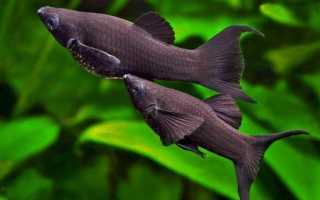 Моллинезии: виды и разновидности рыб, описание, уход и содержание