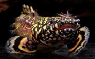 Полиптерус: содержание, разновидности и совместимость с другими аквариумными рыбками