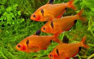Рыбка минор: правильное содержание в аквариуме, совместимость с другими рыбами и разведение