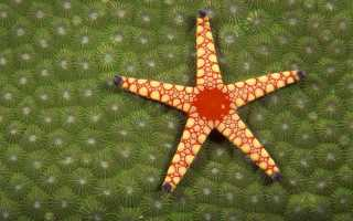 Морская звезда: внешний вид, питание, размножение и употребление в пищу