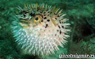 Иглобрюх: описание рыбы, виды, принципы содержания и среда обитания