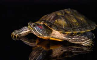 Как спариваются черепахи: подготовка к размножению домашних красноухих черепашек
