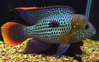 Акара бирюзовая: содержание, уход и совместимость с другими аквариумными рыбками