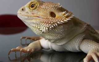 Бородатая агама: внешний вид и образ жизни ящерицы, содержание рептилии в домашних условиях
