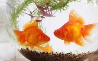 Золотая рыбка в аквариуме: как правильно оборудовать домашний водоём, необходимые условия содержания рыбы