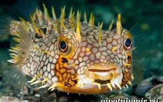 Рыба морской еж: описание для детей, интересные факты, внешний вид