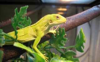 Игуана в домашних условиях: характеристики рептилии, особенности ухода и содержания, правила общения