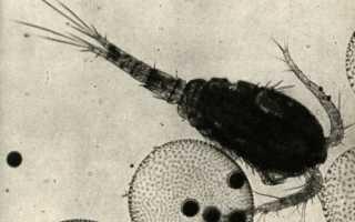 Животное циклоп: описание и размножение рачка, можно ли считать его насекомым