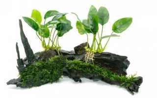 Анубиас: популярные виды, требования к содержанию в аквариуме, размножение и посадка растения