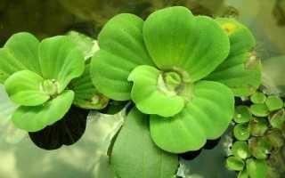Пистия: выращивание растения в аквариумных условиях, особенности содержания
