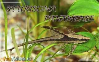 Стурисома панамская (sturisoma panamense): описание сома, содержание и разведение в домашних условиях