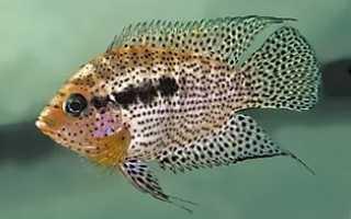 Аквариумные рыбки африканские цихлиды: особенности разведения и виды