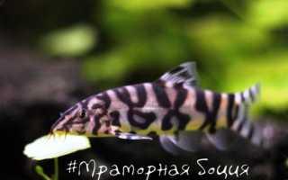 Боция мраморная: содержание аквариумных рыбок, правила ухода за ними, особенности размножения и кормления