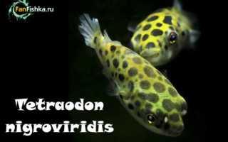Тетрадон зелёный: особенности содержания рыбки в аквариуме