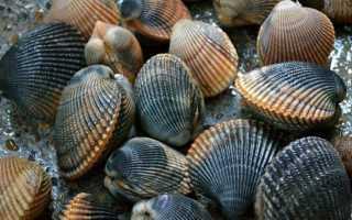 Речные и морские двустворчатые моллюски: где обитают и чем питаются, строение и практическое значение видов