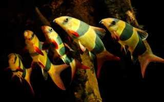 Боция клоун: описание аквариумной рыбки, содержание в домашних условиях и совместимость с другими рыбами