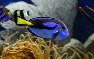 Рыба-хирург: виды (синий, жёлтый и другие), чем опасна и почему так называется
