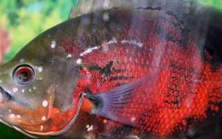 Гексамитоз в общем аквариуме: причины, симптоматика, а также лечение дырчатой болезни у рыб