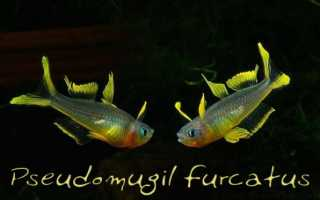 Попондетта фурката: содержание, разведение и уход за рыбками в аквариуме