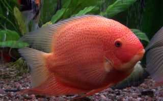 Северум: описание видов, содержание и разведение, совместимость с другими аквариумными рыбками
