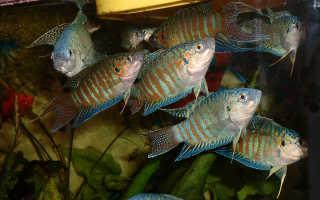 Содержание макроподов в аквариуме и уход за ними, совместимость: полезные советы по разведению райских рыбок