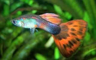 Аквариумные рыбки для начинающих: самые лучшие виды рыб для новичков-аквариумистов