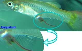Гельминтоз, вызываемый живородящими нематодами из рода камаллянус (Camallanus).