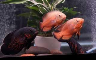 Описание астронотуса: содержание и уход, совместимость с другими рыбами в аквариуме